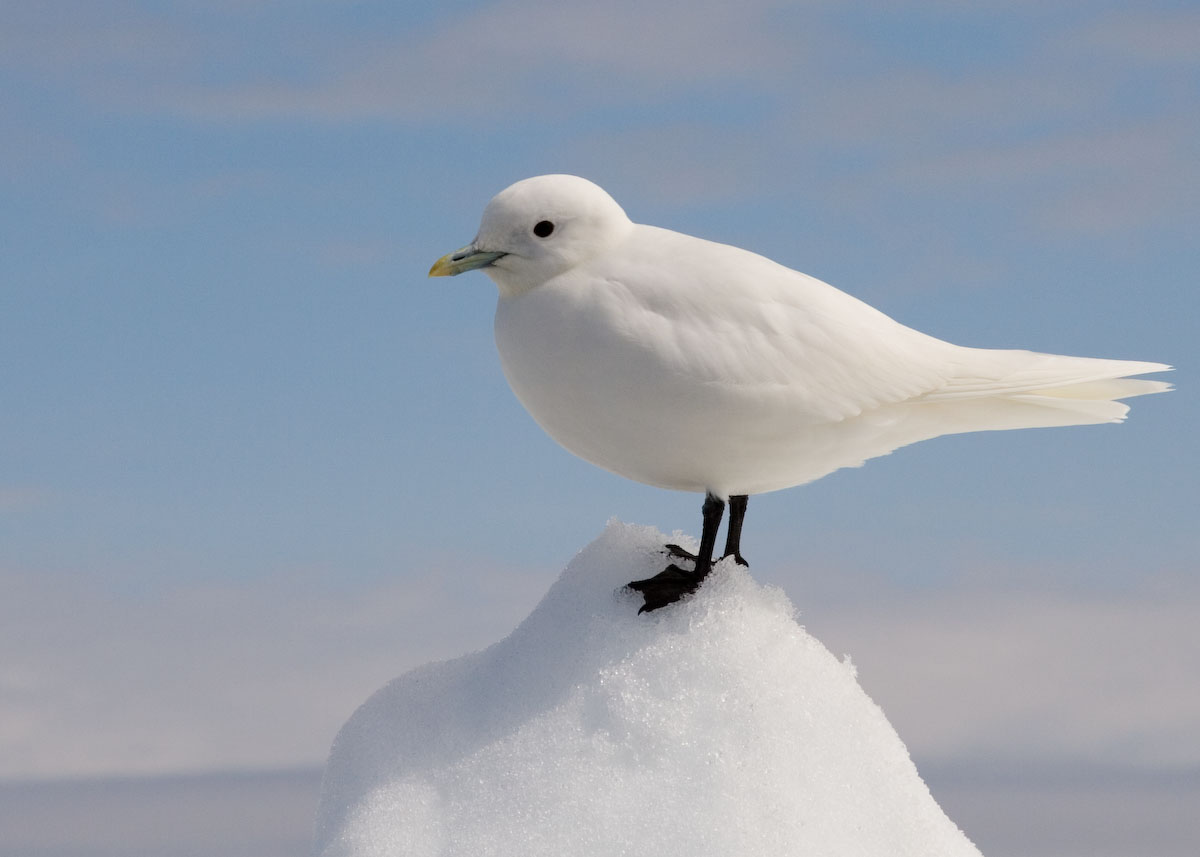 "Ivory Gull - Creative Commons Wikipedia. <a href=""https://www.flickr.com/people/84878506@N00"">Jammillo25</a>"